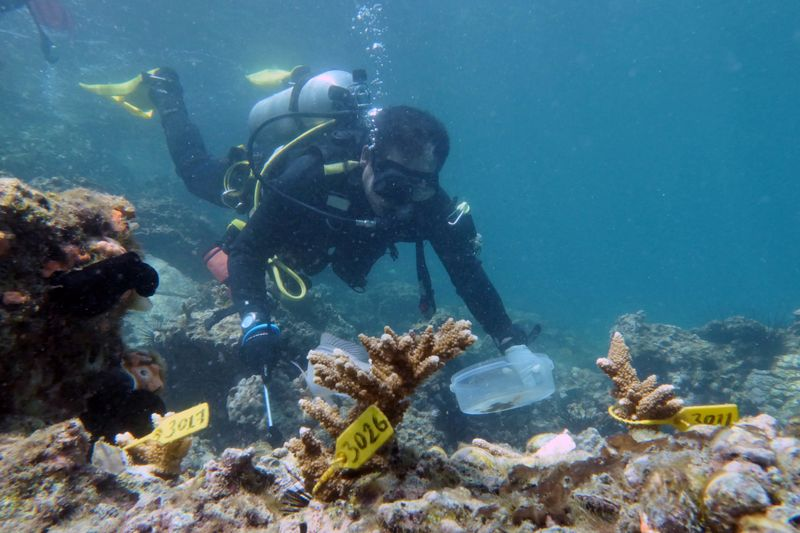 A diver inspects transplanted coral near Dibba Port in Fujairah, United Arab Emirates